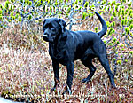 2016 Petersburg Pets calendar  features  Radar Ford, a beautiful black lab.