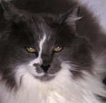 Max is a gray and white long-haired cat with golden eyes.